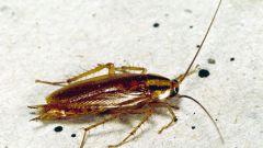 Как уничтожить тараканов дома