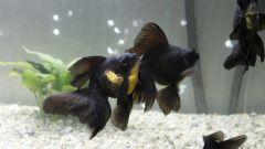 Как и чем кормить золотых рыбок