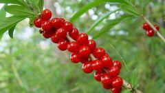 Самые ядовитые ягоды российских лесов
