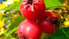 Конфитюр из плодов боярышника