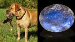 Лабрадор - собака или камень?