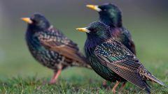 К каким птицам относится скворец
