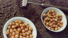 How to soak the onions before planting