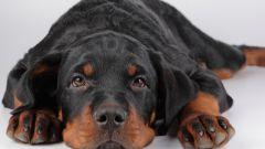 Как передается лишай у собак