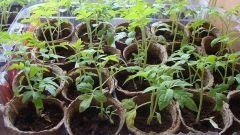 Как пересадить рассаду помидор