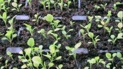 How to transplant seedlings petunias