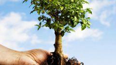 Как пересадить дерево, если оно большое
