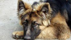 Как передается бешенство у собак