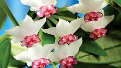 Хойя белла: описание и выращивание растения