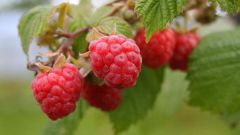 How to care for raspberries in the garden