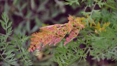 Почему листья моркови приобретают фиолетово-красный оттенок