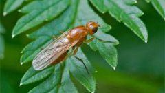 Необходимые меры защиты от морковной мухи