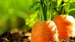 Как вырастить морковь из семян