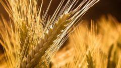 Ячмень как зерновая культура