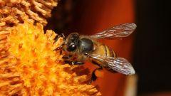 Как спастись от пчел