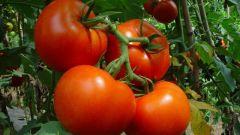Как выращивают помидоры