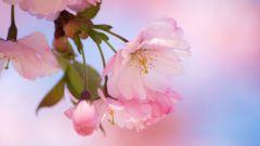 Как цветет сакура