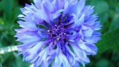 Что за цветок - василек