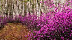 Как цветет багульник