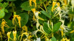 As flowering honeysuckle