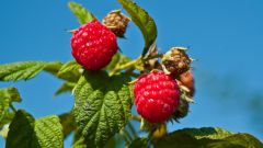How to fence the raspberries