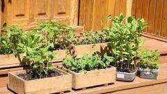 Как рано можно сажать рассаду