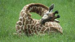 Как спит жираф