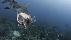 Как едят акулы