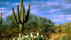 Какие кактусы растут в пустыне