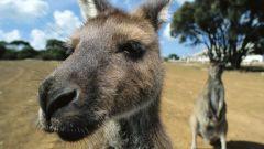 Все о кенгуру как о животном