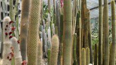 Какие кактусы высокие