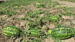 Как растет арбуз