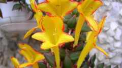 Колумнея: уход за яркой тропиканкой