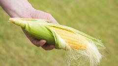 Какое это растение кукуруза
