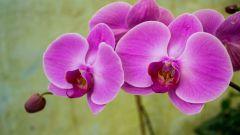 Что означает орхидея как цветок