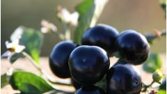 Как выращивать ягоды самбери