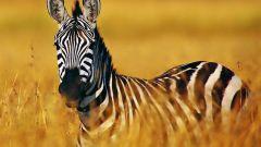 Что за животное зебра