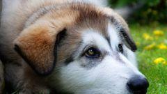 Как собака может заразиться чумкой