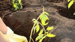 Как сеять помидоры в грунт