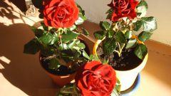 Как посадить розы дома