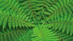 Что за растение папоротник