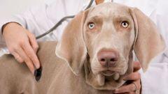 Почему собака кашляет, будто подавилась