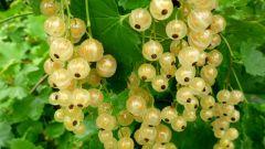 Популярные сорта красной смородины с белыми плодами