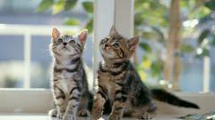 Как характер кошки зависит от породы