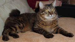 Можно ли стричь кошкам когти