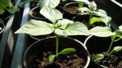Как пересадить перец рассадой