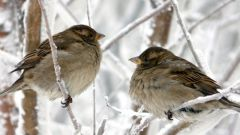 Какие птицы не перелетные