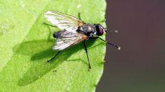 Какие болезни переносят мухи