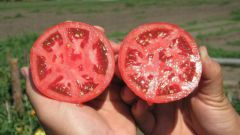 Какие  семена томатов лучше