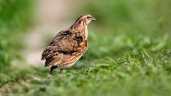 How to prepare feed for quails